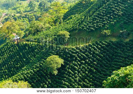 Looking down on a landscape of hills covered in coffee plants near Manizales Colombia