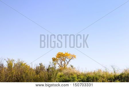 One yellow autmn tree surrounded by tall weeds along the bottom picture with a plane in flight above in cloudless blue sky