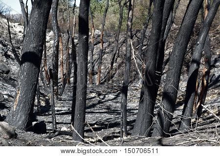 Charcoaled landscape including burnt trees at a riparian forest taken after the Blue Cut Wildfire in Cajon, CA