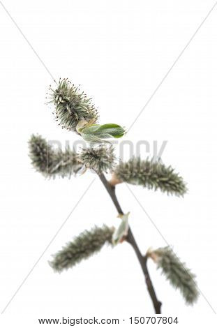 Pussy willows branches on a white background