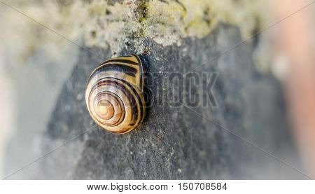 A little shelled land snail remains tucked inside and glued on the shady side of a stone wall.