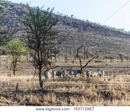 zebras in the serengeti national park with tree