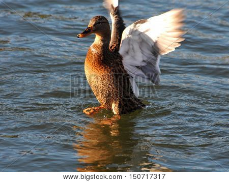 A wild duck swims in the river