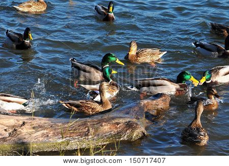 A covey of wild duck is in the river