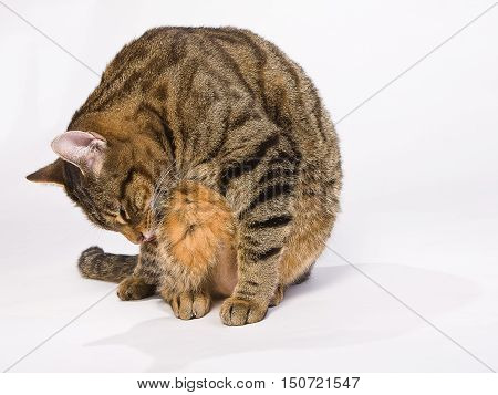 A cat sitting and licking to wash herself on a white background