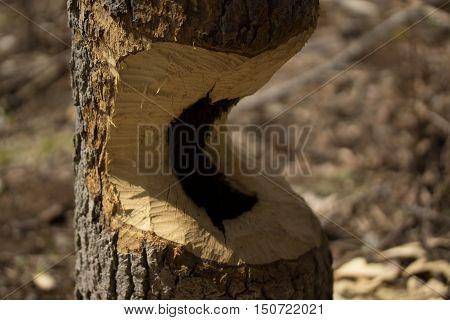 Oak tree gnawed halfway through by beavers