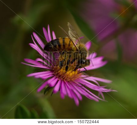 Honey bee extracts nectar from a New England Aster