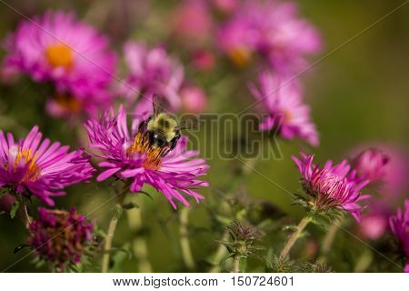 Bumblebee collects nectar from bright pink New England Aster flowers