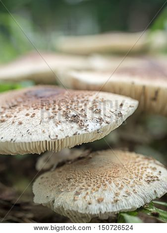 Fresh mushrooms on the field at the village green The rainy and humid climate