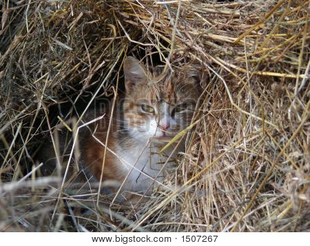 Red Cat In Heap Of Hay