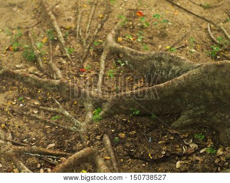 closeup shot of old and rugged weeping fig or ficus tree roots background