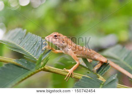 Brown chameleon on a green leaf, Thailand.
