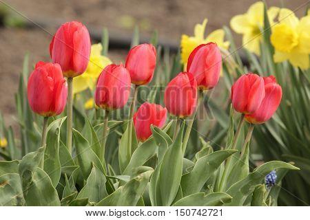 flora, flowers, plants, Tulip, tulips, perennial herbaceous bulbous plants, the Lily family, Liliaceae