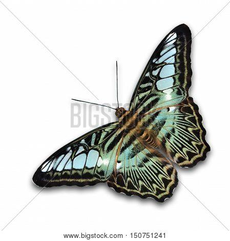 Beautiful Clipper Butterfly