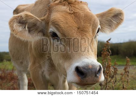 Young dairy cow head. Cattle in farm, agriculture in village