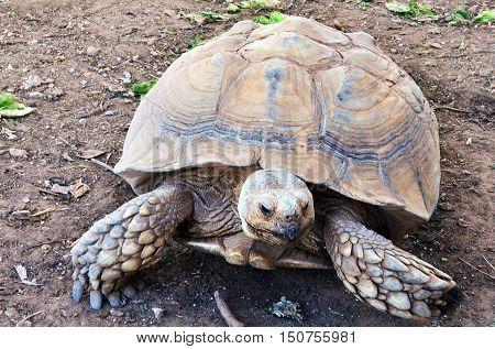 Wildlife Photos - Aldabra Giant Tortoise