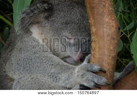 Closeup of a sleeping koala sitting on an eucalyptus tree branch - Australian wildlife.