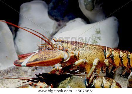 Lobster In Aquarium
