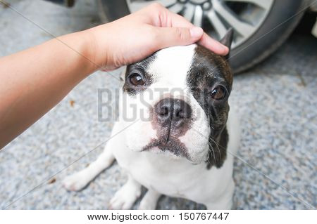 Someone is groping a dog a French dog