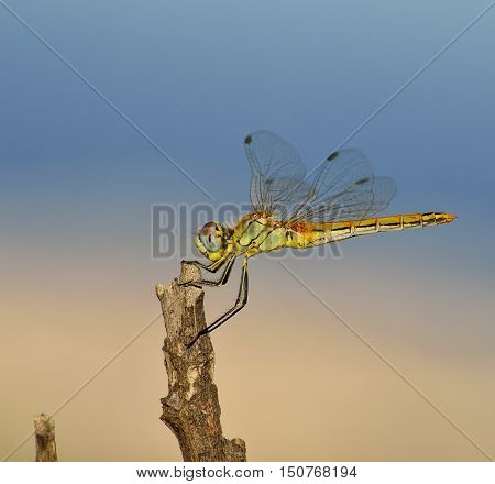 Beautiful dragonfly isolated with unfocused bicolor background