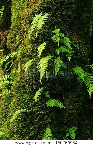 a picture of an exterior Pacific Northwest mossy Vine maple tree with ferns