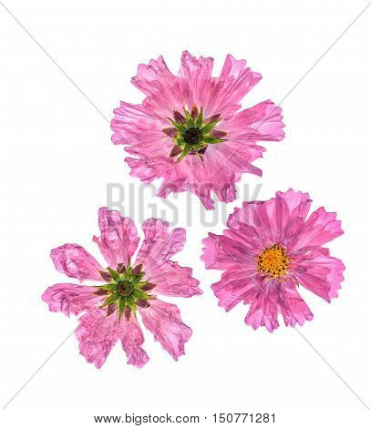 pink dry delicate terry flowers perspective isolated on white background scrapbook pressed