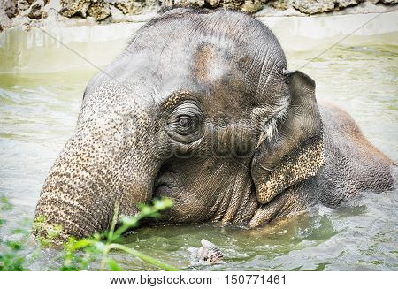 Elephant taking a refreshing dip in the water. Animal theme. Beauty in nature.