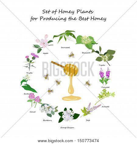 Honey planty set for produsing the best honey for banner or flyer. Wild flowers and bee. Flat design botanical vector illustration eps 10