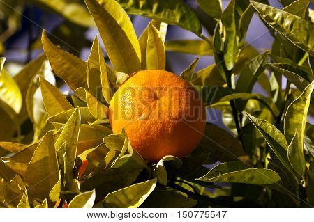 Detail of an oranges tree with one fruit and green leaves Italy Europe.