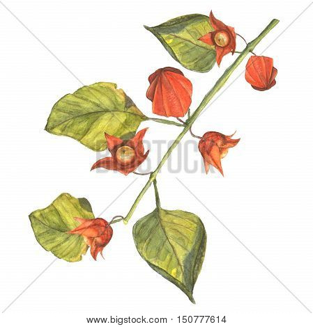 Watercolor illustration of a physalis branch with orange flowers and fruits. Hand made painting.