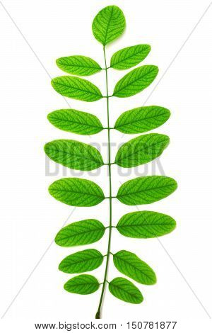 Acacia branch with leaves isolated on white background