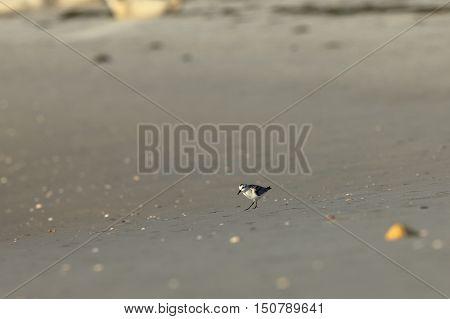 A Dwarf beach runner on the beach