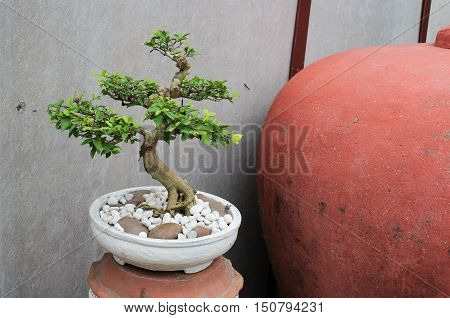 bonsai tree in garden beautiful  nature .