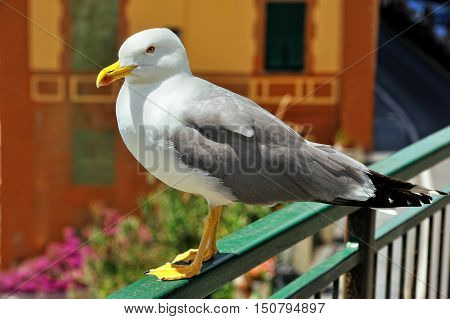 Greater Black-backed Gull , Larus marinus, standing on the bridge