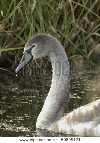 A baby swan in a wetland area with a water drop dripping from the beak.