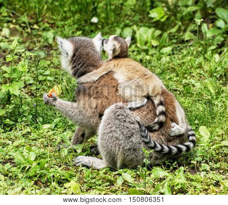 Ring-tailed lemur - Lemur catta - with cub are fed. Animal scene. Beauty in nature.