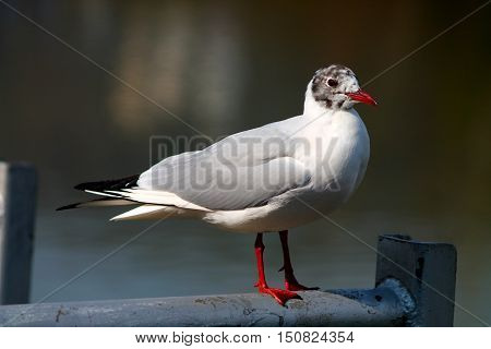 River seagull with red beak and red legs on bridge handholdes.