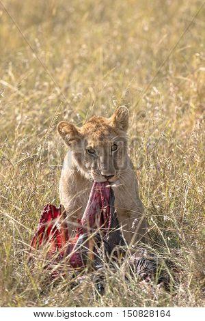 Juvenile african lion over wildebeest kill Masai Mara National Reserve Kenya Africa