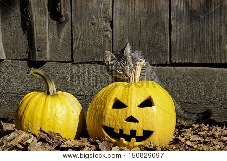 Halloween. Scary pumpkin Jack-o-lantern and grey kitten on a rustic background.