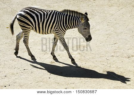 An aerial photo of a black and white striped zebra