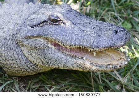 Crocodile portrait of the face teeth and mouth