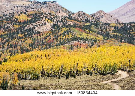 Autumn Aspen on Pikes Peak near Cripple Creek Colorado
