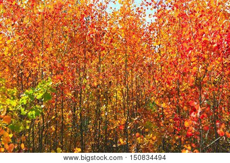 red beautiful leaves of aspens in the autumn in the forest