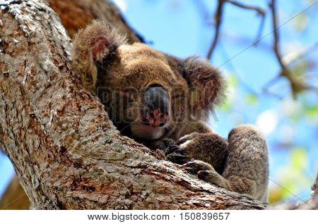 Koala Sleep On A Tree