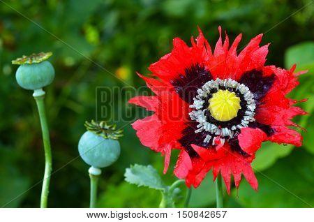 Opium poppy flower beside papaver somniferum capsules.