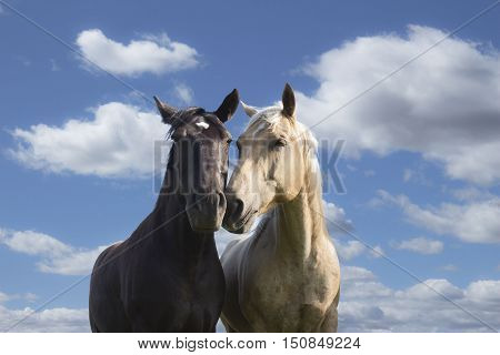 horizontal image of a black and a tan coloured horse standing side by side rubbing their noses together in a loving gesture standing against a beautiful blue sky with white clouds floating by