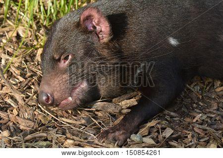 Tasmanian Devil Resting