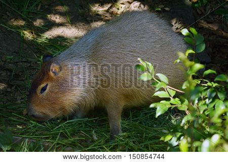 Capybara (Hydrochoerus hydrochaeris) eat grass. The capybara is the largest rodent in the world native to South America inhabits savannas and dense forests. lives near and bodies of water.