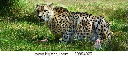 South African Cheetah Eating Prey