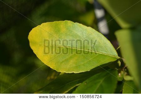 Leaf of Feijoa tree with symptoms of magnesium deficiency.